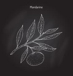 Mandarin orange branch vector