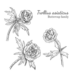 Trollius asiaticus flowerrs sketches set vector