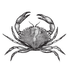 California rock crab vintage vector