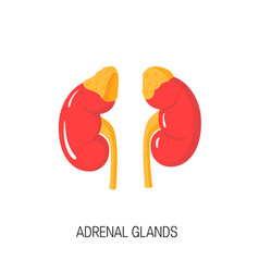 Diagram of adrenal glands in flat style vector