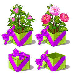 gift green box with pink peonies flower vector image