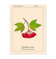 viburnum opulus or guelder rose vector image