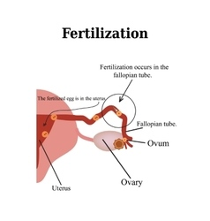 Fertilization isolated on a vector image