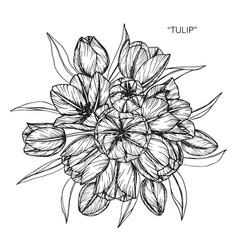 tulip flower and leaf hand drawn botanical vector image