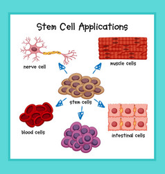 scientific medical stem cell applications vector image