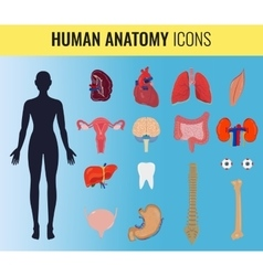 Human organ anatomy set vector image