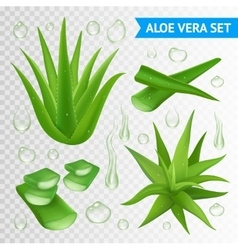 Aloe vera plant on transparent background vector
