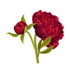Large dark red peony flower vector