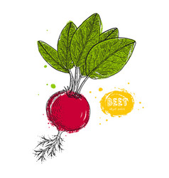 beet hand drawn in the style vector image