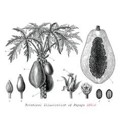 botanical papaya hand drawn vintage engraving vector image