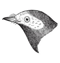 Hooded warbler vintage vector