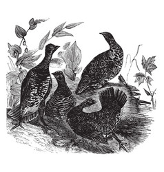 Canada grouse vintage vector