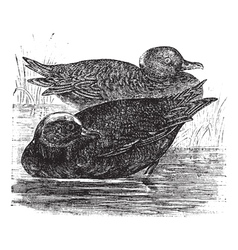 Wigeon vintage engraving vector image vector image