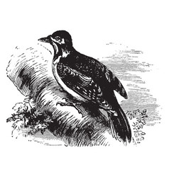 European spotted woodpecker vintage vector