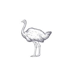 Ostrich vintage retro print vector