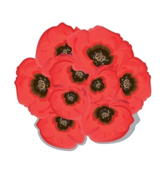 Poppy flowers on white background vector image