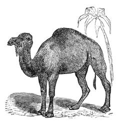 Arabian camel vintage engraving vector image
