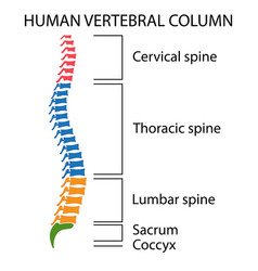 Diagram of a human spine vector