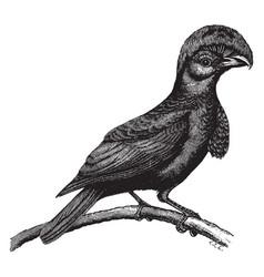 amazonian umbrella bird vintage vector image