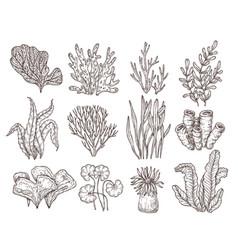 Sketch seaweed isolated ocean seaweeds aquarium vector