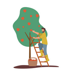 Man is harvesting apples fruit tree ripe red vector
