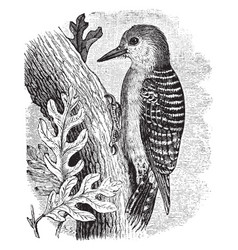 Red bellied woodpecker vintage vector