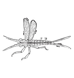 Diagram of the circulation of an insect vintage vector