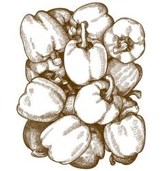 engraving bell pepper pattern vector image