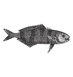 Pilot fish vintage engraving vector