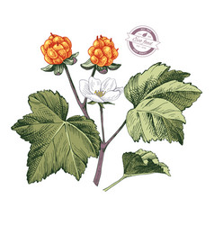 hand drawn cloudberry branch vector image