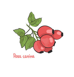 Hand drawn of rosa canina hips picture of vector