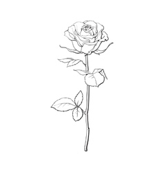 Deep contour rose with green leaves isolated vector image
