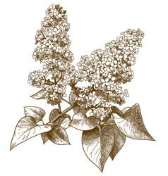 Engraving of lilac syringa vector