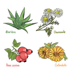 medicinal cosmetic plant and herbs vector image