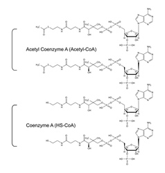 Coenzyme A and Acetyl Coenzyme A vector image