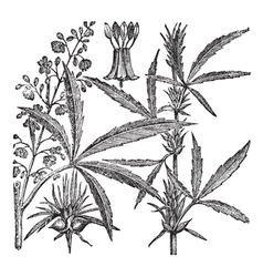 Hemp or Chanvre vintage engraving vector image