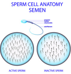 Sperm cell anatomy semen vector
