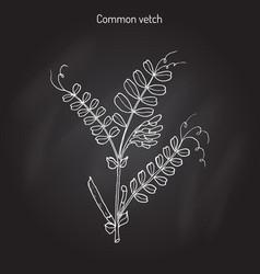 the vetch vicia sativa vector image