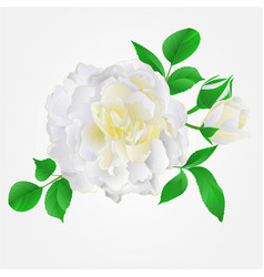 White rose with buds and leaves vintage vector
