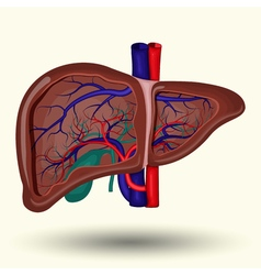 Human liver icon vector image vector image