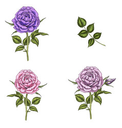 set with three rose flowers leaves and stems vector image