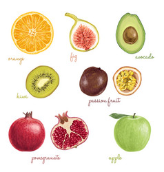 hand drawn detailed exotic fruits vector image