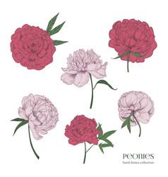 beautiful peonies set hand drawn blossom flowers vector image vector image