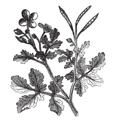 Greater Celandine vintage engraving vector image