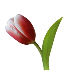 Close up of Tulip flower on white background vector image