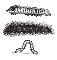Caterpillar vintage engraving vector image