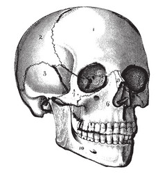 The skull vintage vector