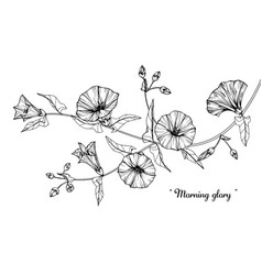 morning glory flower and leaf hand drawn vector image