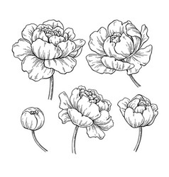 Peony botanical drawing hand drawn vector