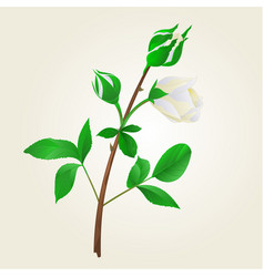 Buds white rose stem with leaves vintage vector